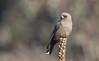 dusky woodswallow (Artamus cyanopterus)-5270 (rawshorty) Tags: rawshorty birds canberra australia act campbell