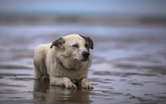 Buddy (Paul`s dog photography) Tags: canon 5d mkiv ef70200mm f28l is ii usm dog beach sandy devon