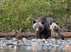 Grizzly Bear and Cub (Max Waugh Photography) Tags: grizzlybear ursusarctoshorriblis britishcolumbia canada greatbearrainforest northamerica pacificnorthwest animal brown mammal nature predator wildlife cub baby yearling mother sow female family greatbear17 maxwaugh topf25