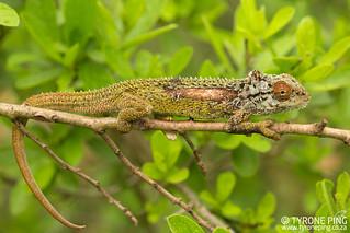 Bradypodion transvaalense -Transvaal Dwarf Chameleon from Graskop, Mpumalanga.