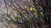 Yellow bird (Milen Mladenov) Tags: 2017 bulgaria d7200 landscape montana autumn bird branch bush fog foggy haze hazy nature nikond7200 sparrow view wet yellow
