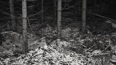Should I Stay or Should I Go (Stefano Rugolo) Tags: stefanorugolo pentax k5 kepcorautowideanglemc28mm128 monochrome dark wood forest tree woodland sweden landscape hälsingland shouldistayorshouldigo theclash snow