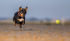 Eyes on the prize (Paul`s dog photography) Tags: ef70200mm f28l is ii usm canon eos 5d mark iv flying mouse rescue