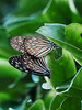 Taiwan Butterfly  10 (elenaleong) Tags: apairofbutterfly nature wildlife insect taiwanbutterfly elenaleong travelphotography