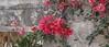 Friday's Flower Power... (Rainer Fritz) Tags: mallorca botanicus natur bouganville bouganvillea
