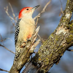 Sunshine Becomes You (Wes Iversen) Tags: brighton kensingtonmetropark melanerpescarolinus michigan milford redbelliedwoodpecker tamron150600mm birds branches nature square tree