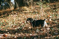 Sunny Yoko (spablab) Tags: canon ae1 400 kodak ultramax dwaynesphoto lenstagger yoko dachshund pug mix sooc film 35mm