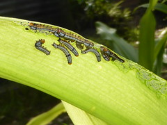 The Culprits (tessab101) Tags: caterpillar bug insect arthropods blue mountains nsw australia