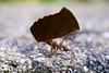 07122017-_DSC0668 (jean_hyo) Tags: closeup bug formiga ant folha leaf trabalho work força might