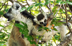 Mmmm... Fruit (LeftCoastKenny) Tags: madagascar ambalavo anjareserve day9 ringtailed lemur