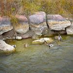 6 Ducks A Feeding thumbnail