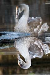 Young swan (BenFitzcosta) Tags: swan reflection portrait animal bird wild wildlife wildlifephotography nature