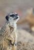 The Watcher (Lazy Pixel) Tags: animal zoo cute wildlife meerkat staring