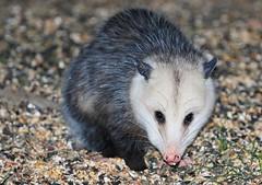 Virginia opossum at Lake Meyer Park IA 854A9340 (lreis_naturalist) Tags: virginia opossum lake meyer park winneshiek county iowa larry reis