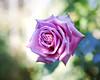 2017 Autumn Rose (shinichiro*@OSAKA) Tags: 20171121sdqh1876 2017 crazyshin sigmasdquattroh sdqh sigma1835mmf18dchsm november autumn rose yokohama kanagawa 横浜イングリッシュガーデン バラ ピンク japan jp 23998002547 2081072 201801gettyuploadesp