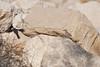 DSC_0132 (Kjell Arild Dokka) Tags: spurvefugler skriketroster tamariskskriketrost turdoides huttoni iran bandarabbas genu