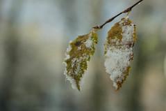 Saupoudrées... (Gisou68Fr) Tags: feuille leaves neige snow hiver winter canoneos650d efs18135mmf3556isstm bokeh