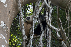 Gibbon jail? (ramosblancor) Tags: naturaleza nature animales wildlife mamíferos mammals primates simios apes largibbon whitehandedgibbon gibóndemanosblancas hylobateslar macho male joven ramas branches vines lianas cárcel jail young play light sandy dark black oscuro negro color bosquetropical tropicalforest monsoonforest bosquemonzónico selva jungle khaoyai tailandia thailand