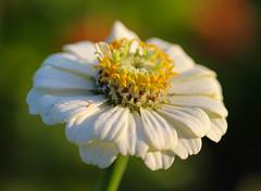 Zinnia (LuckyMeyer) Tags: zinnie white weiss makro summer garden green blume blüte flower fleur zinnia
