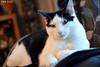 Zack (AreKev) Tags: zack white male cat pet animal nikond7100 nikon d7100 sigma 1750mmf28exdcoshsm