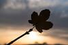 sunset (Anita Pravits) Tags: wien vienna herbst fall autumn blatt leave ahorn maple