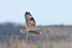 _W4A1497 Short-eared Owl (Asio flammeus) (ajmatthehiddenhouse) Tags: kent worthmarshes uk 2017 bird asioflammeus asio flammeus shortearedowl