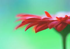 Gerbera (paulapics2) Tags: flower gerbera fleur floral nature plant flora red petals depthoffield canoneos5dmarkiii sigma105mm bright
