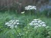 Flowers (✦ Erdinc Ulas Photography ✦) Tags: lenstagger bloemen flowers bloem green groen konica hexanon focus netherlands nederland dutch holland park white wit