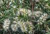 "Melaleuca 'Wilderness White"" (idunbarreid) Tags: white australian native flowers"
