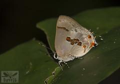 Nicolaea fabulla ( BlezSP) Tags: lycaenidae peru puertomaldonado madrededios faunaforever boca pariamanu