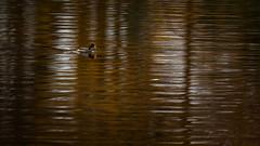 A little catch (bella_blue_star) Tags: marlaypark dublin autumn water hen