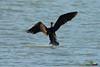 A-LUR_2041 (OrNeSsInA) Tags: trasimeno uccelli bird natura italia umbria castiglionedellago ornessina lucarosi nikon tamron byrd lago chiusi siena perugia aironi cormorani