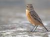 Tarabilla europea (Saxicola rubicola) (16) (eb3alfmiguel) Tags: aves passeriformes insectívoros turdidos turdidae tarabilla europea saxicola rubicola pájaros