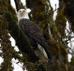 Skagit River Eagles (larryvenus) Tags: eagles skagiteagles birdsofprey juvenileeagles subadulteagles skagitcountyeagles washingtoneagles nikon nikonphotography nikond500 tamron tamron150600mmlens adulteagles