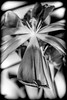 Tulip Mono Splash. (CWhatPhotos) Tags: mono black white monochrome art artistic flowers flower light photographs photograph pics pictures pic picture image images foto fotos photography cwhatphotos that have which with contain mk digital camera lens micro macro nature color colour colors colours vibrant m closeup close up macrolens tulipa tulp heads head shadowed shadow shadows lidl lidlflowers tulip 100mm prime canon iii 5d eos