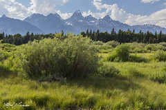 Afternoon Shade_27A1115 (Alfred J. Lockwood Photography) Tags: alfredjlockwood nature landscape wildscape moose cow resting shade rockymountains meadow grandtetonnationalpark grandteton middleteton teewinot clouds afternoon grasses summer wyoming