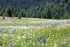 Meadow Wildflowers (gerry.bates) Tags: ecmanningprovincialpark nature landscape mountains cascademountainrange meadow wildflowers flowers britishcolumbia canada canon summer hiking trails flora trees slopes alpine