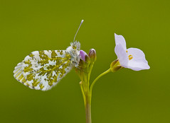 Orange - Tip Anthocaris cardamines (Ivan Lynas Nature Photography) Tags: