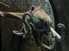octopus Blijdorp BB2A8438 (j.a.kok) Tags: inktvis octopus blijdorp vis