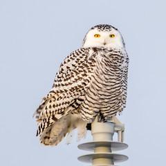 Snowy Owl, female (Glenn R Parker) Tags: 1birds owls snowyowls