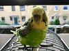 Budgie (Lasse73493) Tags: happy green gründ bird vogel wellensittich budgie
