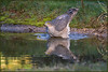 Sparrowhawk (image 3 of 3) (Full Moon Images) Tags: rspb sandy lodge thelodge wildlife nature reserve bedfordshire bird birdofprey pool pond reflection washing bathing bath sparrowhawk