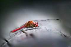 Having a rest (Rico the noob) Tags: dof 300mm nature d500 switzerland outdoor insect animal tc14eiii zurich macro schweiz 300mmf4pf published bokeh animals eye dragonfly closeup 2017
