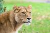 Lioness at Longleat (daveashaw) Tags: lion animal longleat safaripark zoo nikon tamron bigcat cat