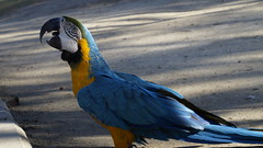 Macaw (Voice_from_within) Tags: bird birds macaw nature lahore aviary sony nex 3n