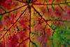 détails d'une feuille / couleurs automnales_0838 (ichauvel) Tags: couleursautomnales autumncolours rouge red vert green jaune yellow feuille leave détails octobre october exterieur outside france europe westerneurope yvelines manteslaville beautédelanature beautyofnature getty