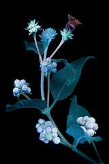 Lantana 3 s (C. Burrows) Tags: uvivf flower botany nature lantana