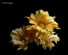 Secertative 1101 Copyrighted (Tjerger) Tags: nature beautiful beauty black blackbackground bloom blooming blooms closeup daisy fall flora floral flower flowers macro orange plant portrait three trio white wisconsin yellow daisiessecretative natural