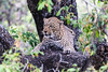 Leopard in a tree (Florin Mechetiuc) Tags: astoundingimage leopardinatree leopard krugernationalpark southafrica wildlife
