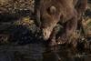 Is That What I Look Like? (wyrickodiak_9) Tags: kodiak alaska brown bear grizzly sow cubs fishing river island mammal wildlife apex predator